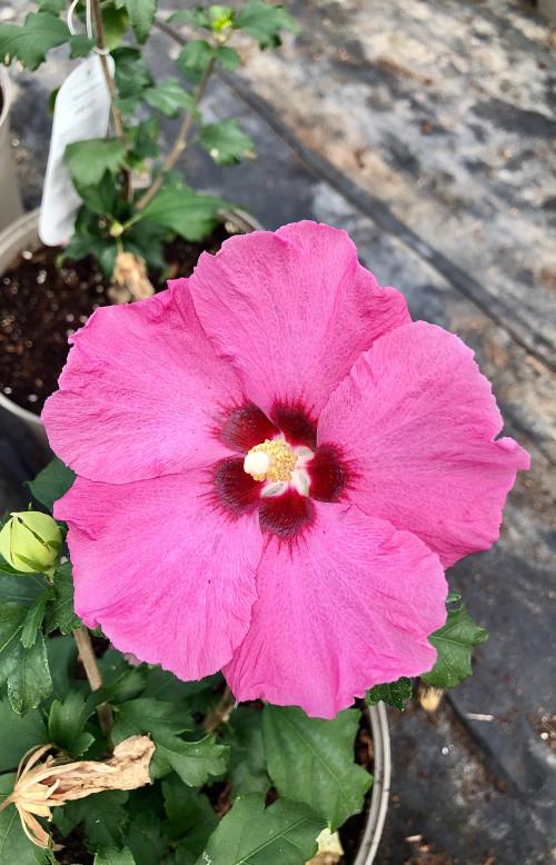 Hibiscus syriacus 'Aphrodite' - 7.5Litre