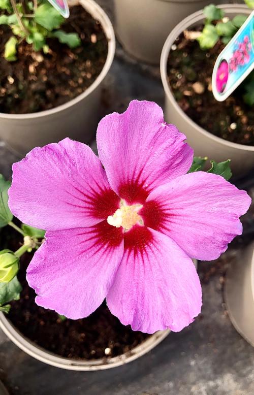 Hibiscus syriacus 'Woodbridge' - 7.5Litre