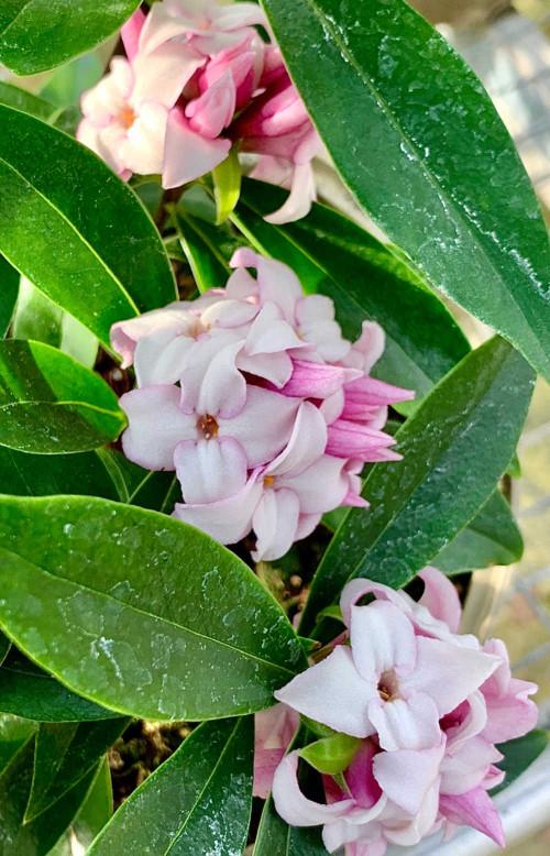 Daphne 'Perfume Princess'