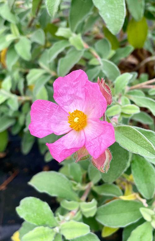 Cistus × lenis 'Grayswood Pink' - 5Litre