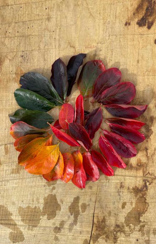 Aronia 'Autumn Magic'