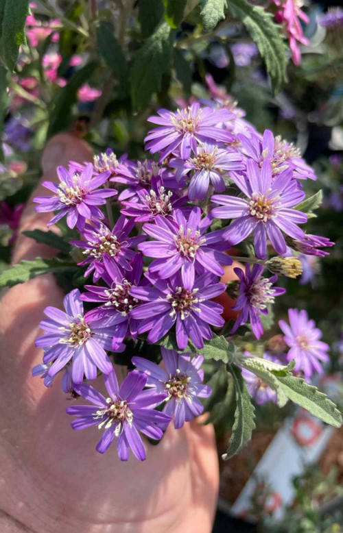 Olearia phlogopappa Comber's Blue - 5Litre
