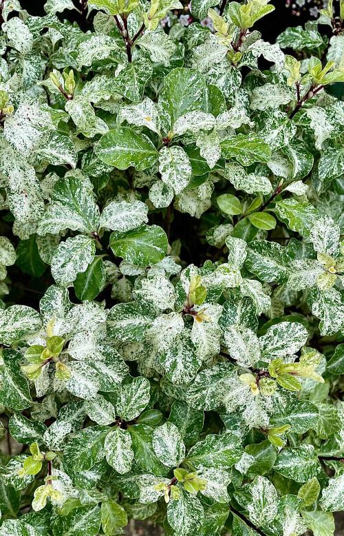 Pittosporum tenuifolium 'Irine Paterson' - 10L
