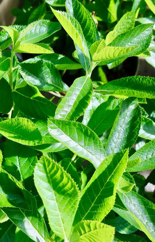 Clethra alnifolia - 10Litre