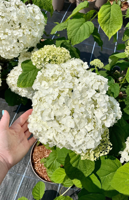 Hydrangea arborescens 'Annabelle' - 10Litre