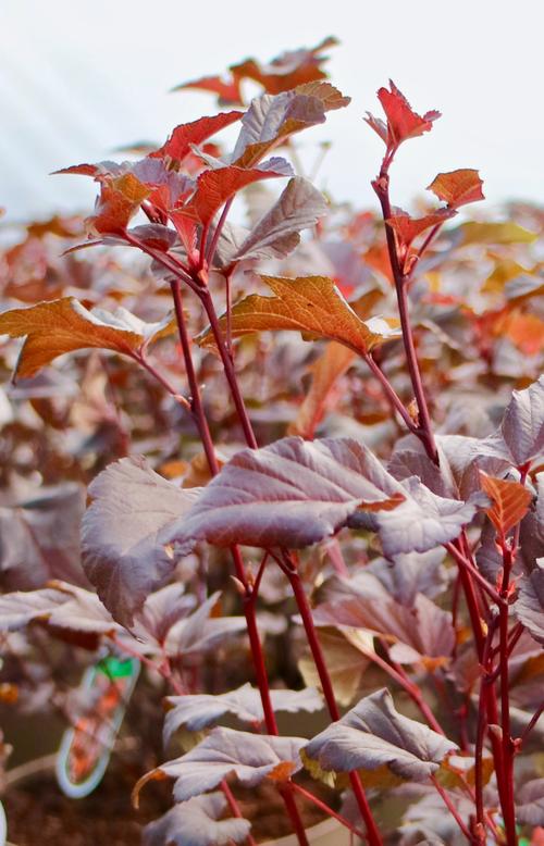 Physocarpus opulifolius 'Lady in Red' - 10Litre