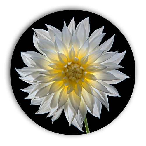 Metal circle print with hanger, front view. Macro flower dahlia photography by Tim Lutz.