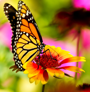 butterfly-on-flower.png