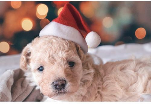Pets Christmas Hat