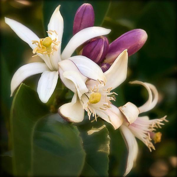 Incense - Lemon Blossom