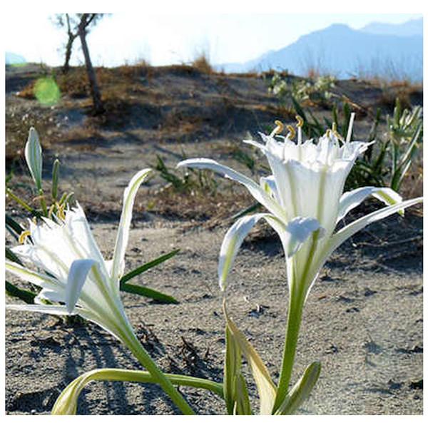 Incense - Desert Bloom