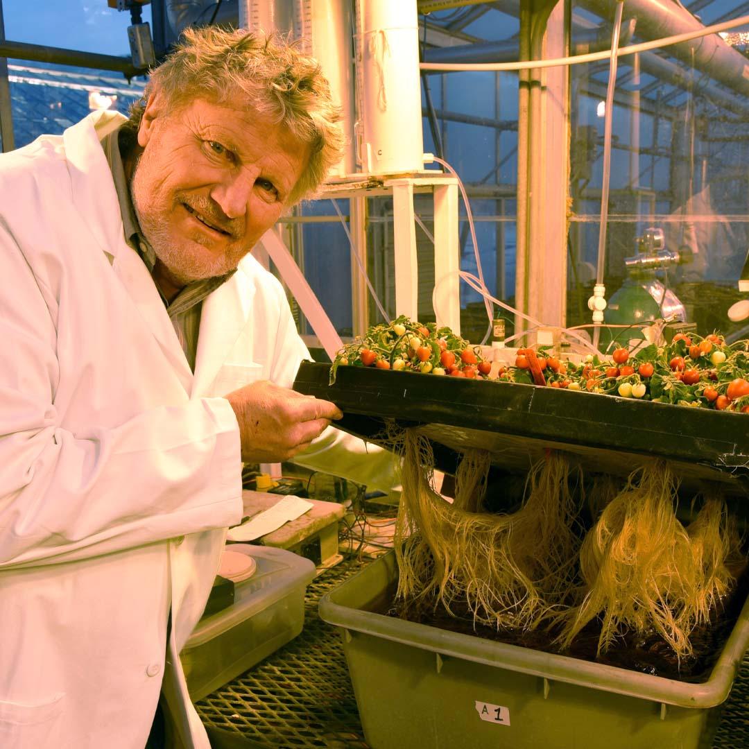 Tomatoes grown using aquaponics