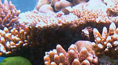 Ensure proper light levels for underwater photosynthesis using Apogee aquarium PAR meters.