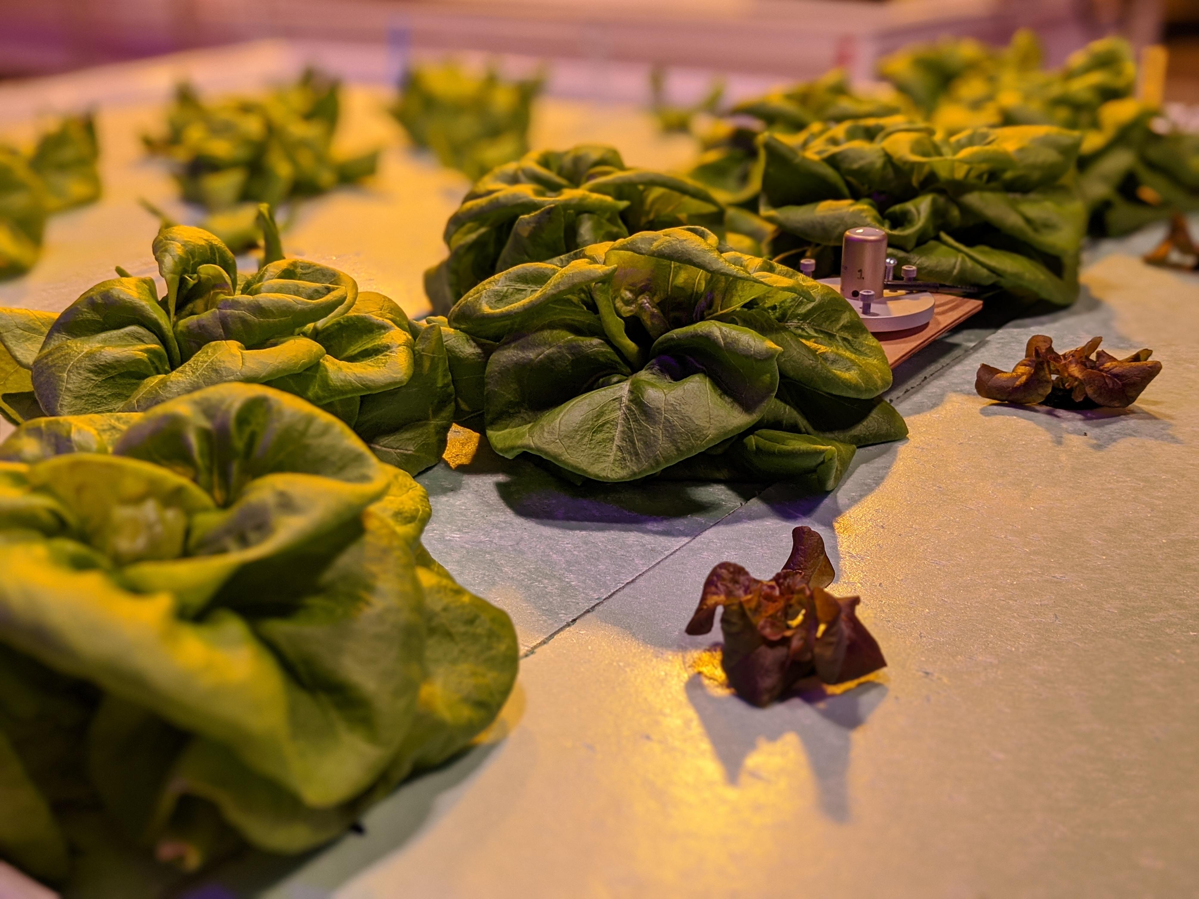 Lettuce with SQ-520 Quantum Sensor