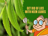 How to Kill Lice Naturally with Neem
