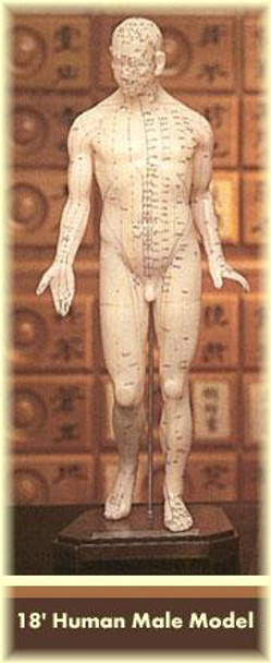 """Acupuncture Male Model 18"""""""