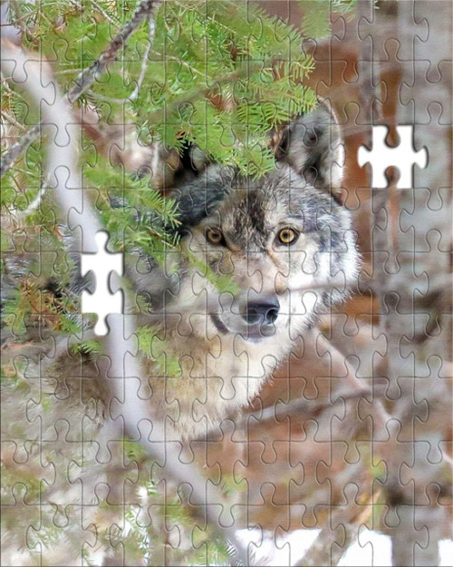 Puzzle - Timber Wolf in Ely, MN by Eric Sherman -