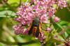VivaTrap! Squash Vine Borer Moth Trap + Lure (2 pack)