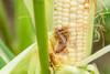 Fall Armyworm larvae damage