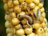 Corn Earworm larvae on yellow corn cob