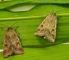 2 Corn Earworm Moths on green foliage