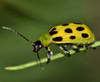 VivaTrap! Cucumber Beetle Trap & Lure (2 Pack)