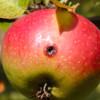 VivaTrap! Codling + Oriental Fruit Moth Trap & Pheromone Lure (2 Pack)