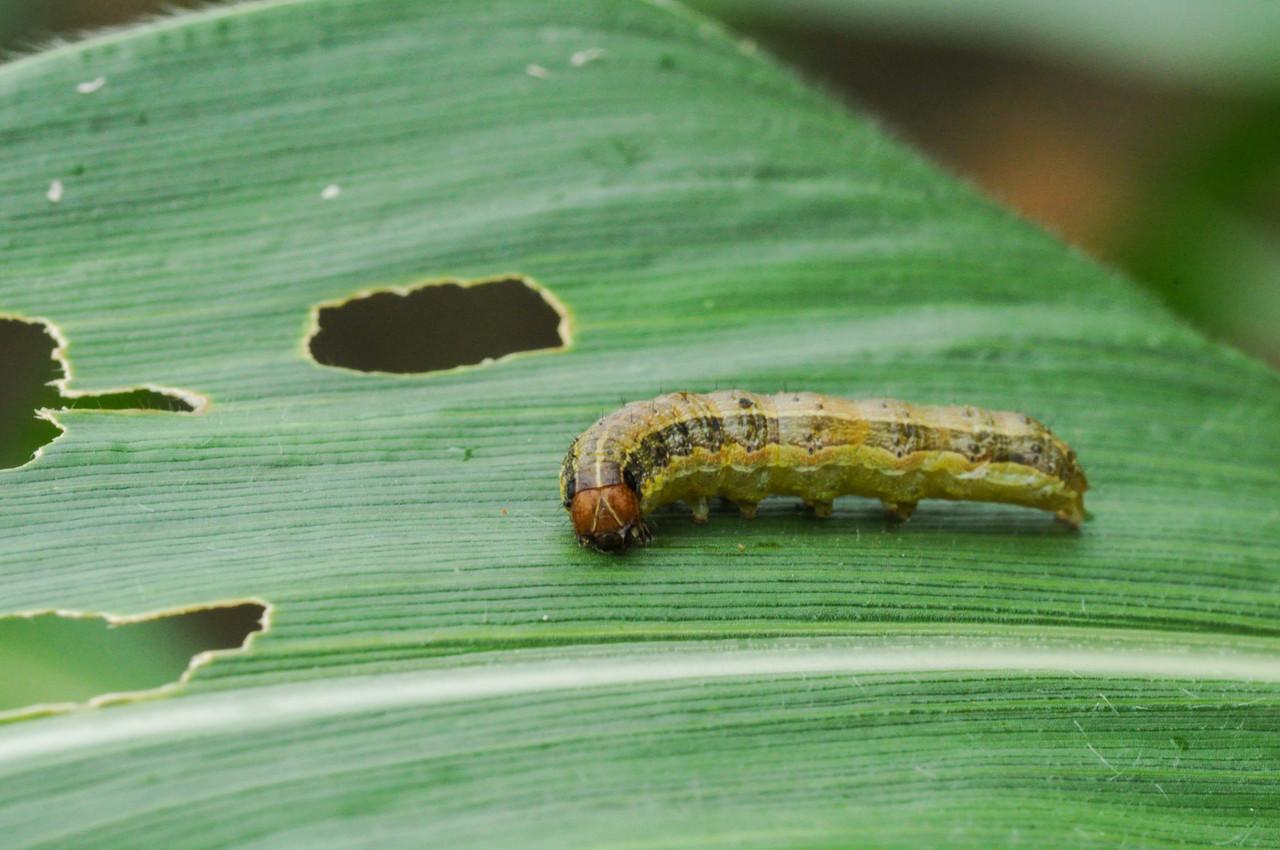 Fall Armyworm larvae damage on leaf