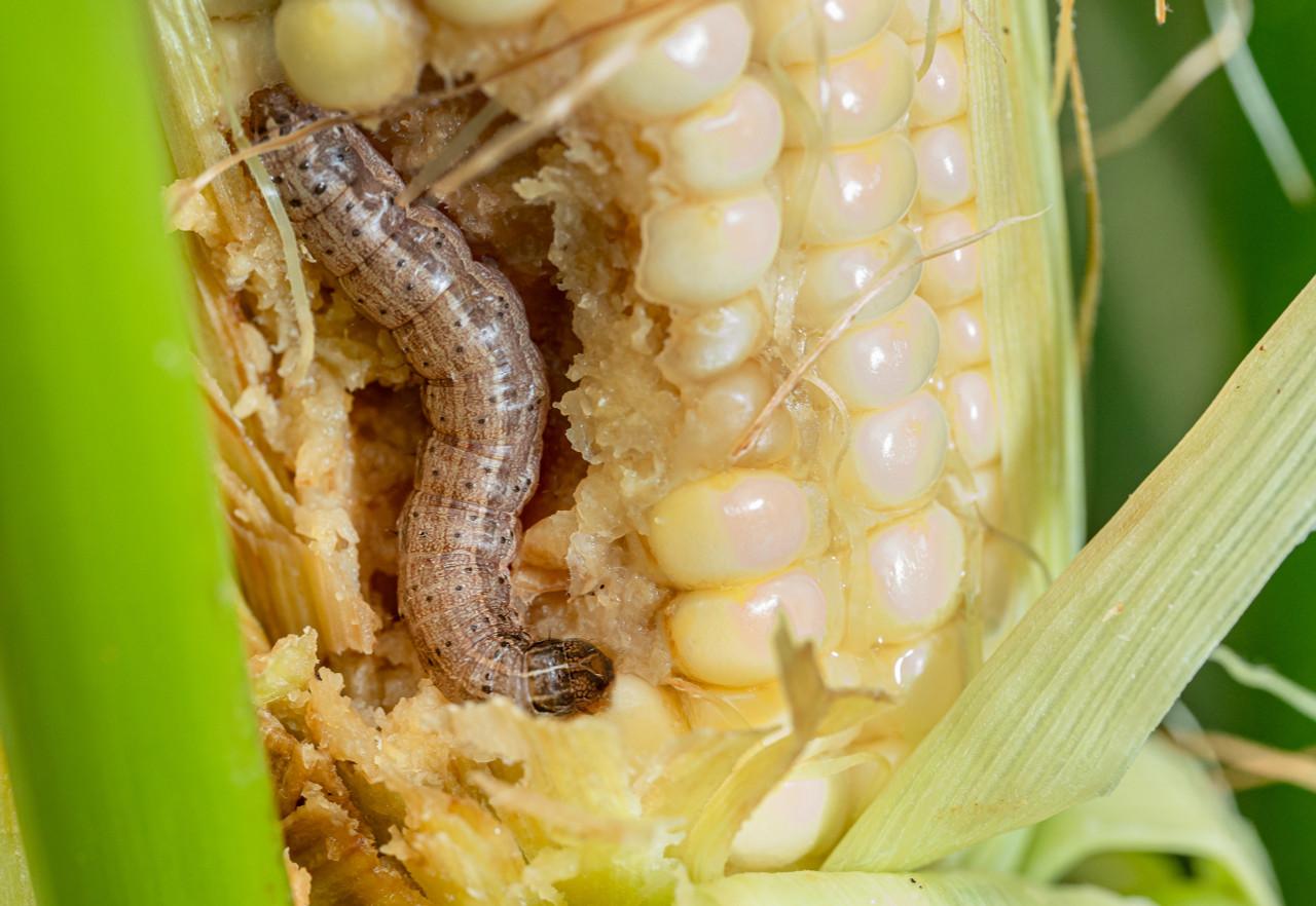 Advancing Fall Armyworm larvae damage