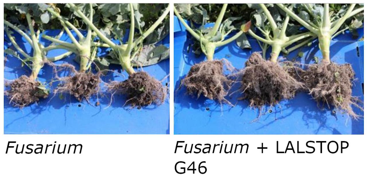 LALSTOp G46 Fusarium comparison