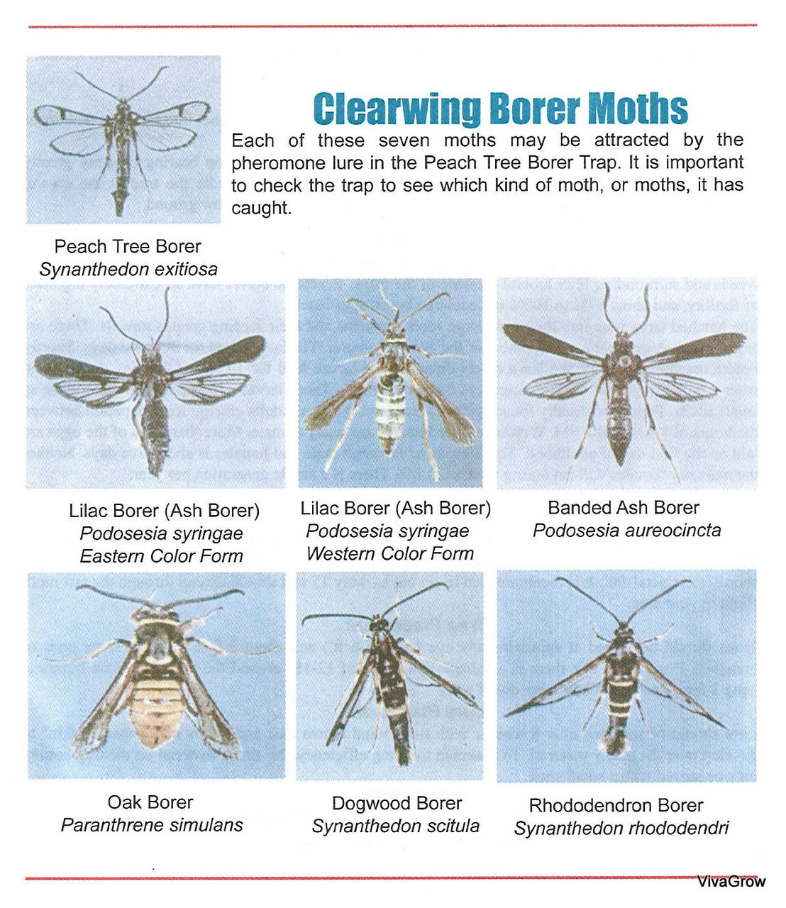 Effective against many Clearwing Borer Moth species!