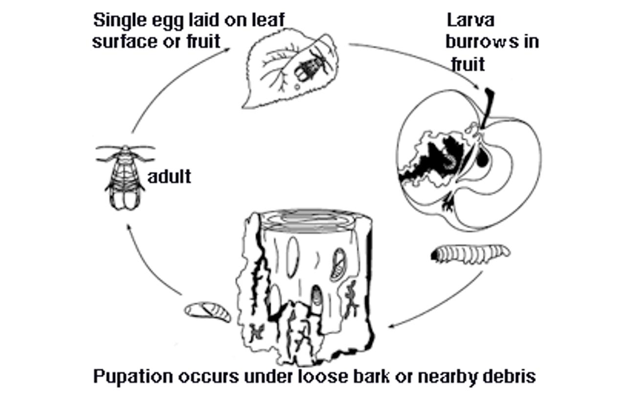 VivaTrap! Codling Moth Trap & Pheromone Lure (2 Pack)