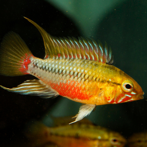 Hongslo's Red-Gold Dwarf Cichlid (Apistogramma hongsloi var. red-gold)