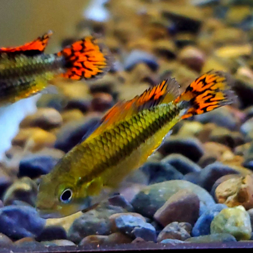 Gold-Red Cockatoo Dwarf Cichlid (Apistogramma cacatuoides var. gold red)