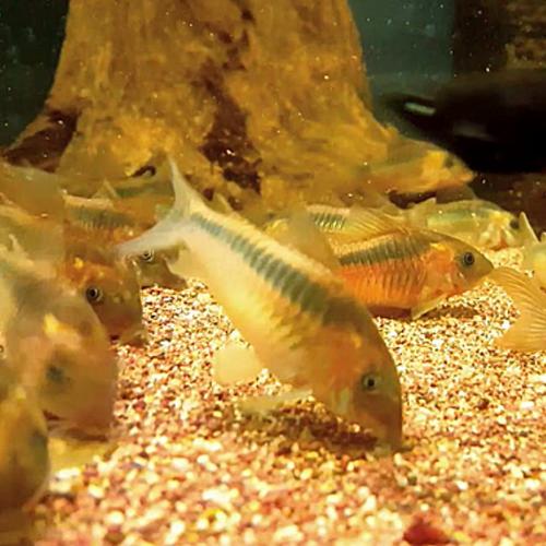 Rust Corydoras Catfish *Czech Tank-Bred* (Corydoras rabauti)
