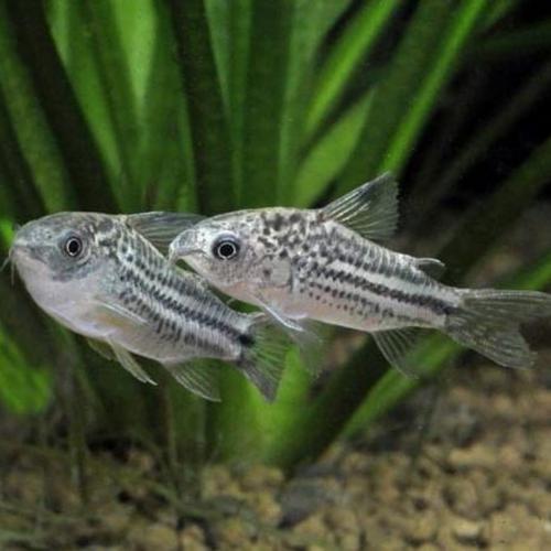 Nanus Corydoras Catfish (Corydoras nanus)