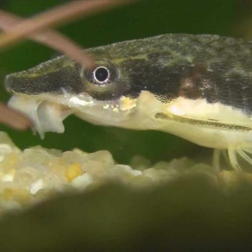 Golden Otocinclus Catfish (Otocinclus affinis var. gold)