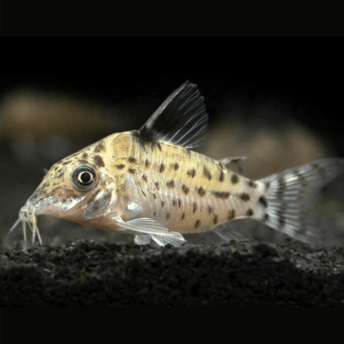 Agassizi's Corydoras Catfish (Corydoras agassizii)