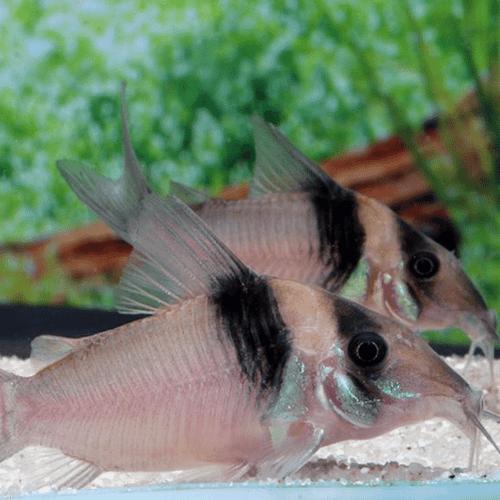 Miguelito Corydoras Catfish (Corydoras virginae)