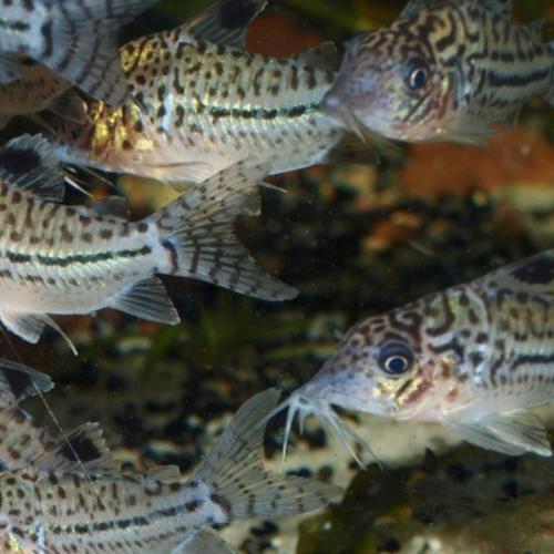 C102 Leopard Corydoras Catfish (Corydoras leopardus C102)