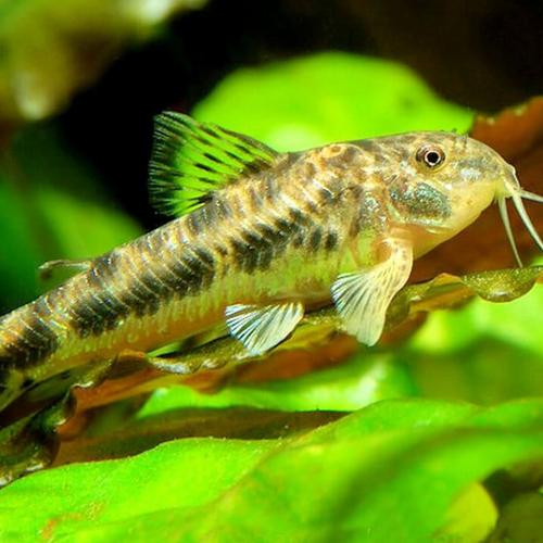 C125 Spotted Aspidoras Catfish (Aspidoras spilotus)