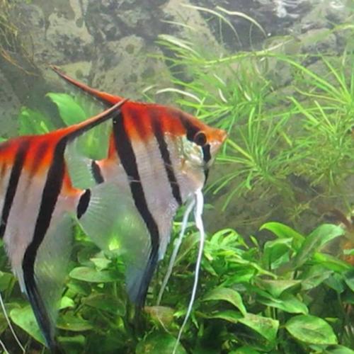 Manacapuru Red Back Angelfish (Pterophyllum scalare var. manacapuru red back)
