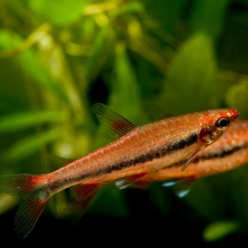 Beckford's Red Pencilfish (Nannostomus beckfordi var. Red)