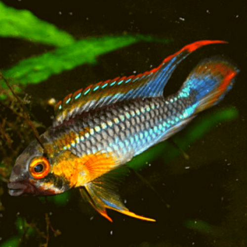 Rio Abacaxis Dwarf Cichlid (Apistogramma sp. Abacaxis)