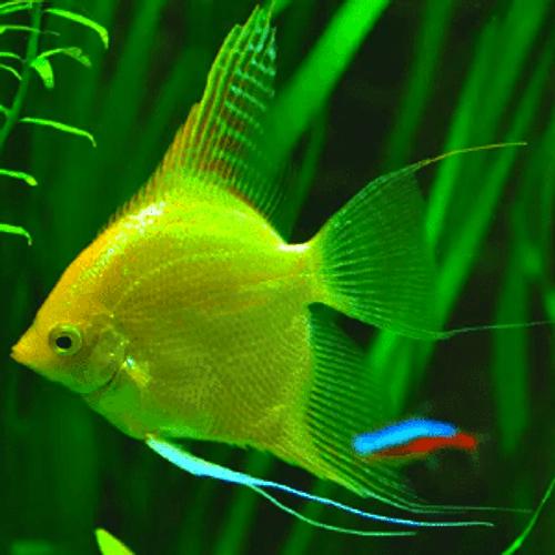 Golden Angelfish (Pterophyllum scalare var Golden)