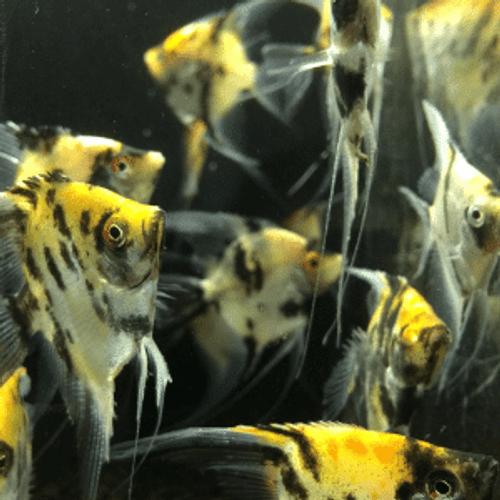 Koi Angelfish (Pterophyllum scalare var Koi)