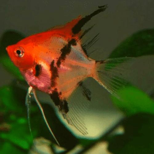 Red Devil Angelfish (Pterophyllum scalare var Red Devil)