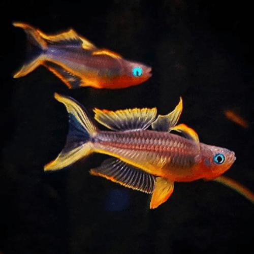 Forktailed Blue Eyed Dwarf Rainbowfish (Pseudomugil furcata)