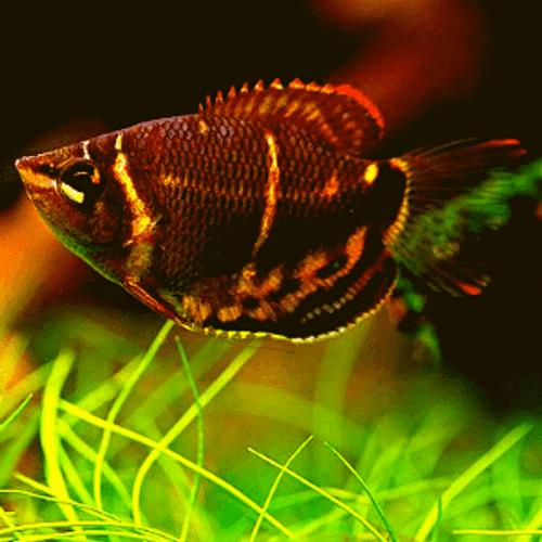 Vaillant's Samurai Chocolate Gourami (Sphaerichthys vaillanti)