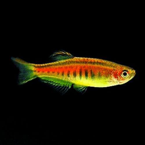 Glowlight Danio (Danio choprai) for sale online at Red Fish Blue Fish